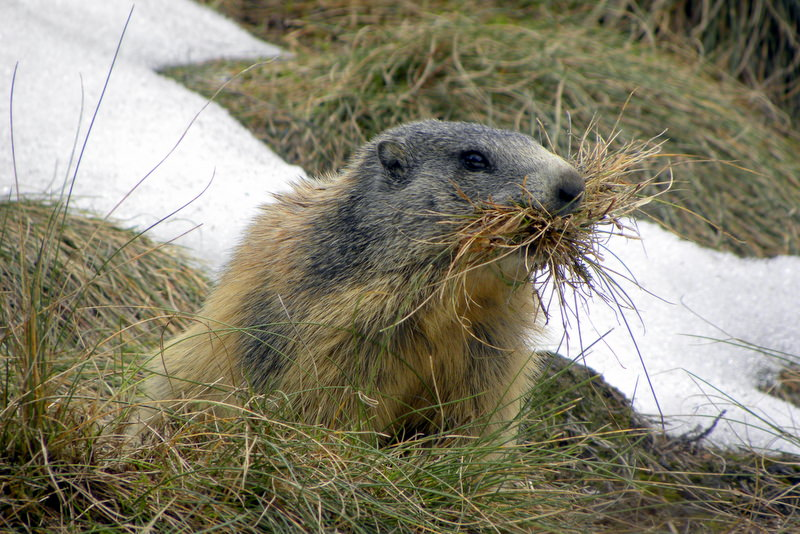 sejour-vallee-ossau-bearn-Randonnée-Ossau-Marmotte-à-moustache1