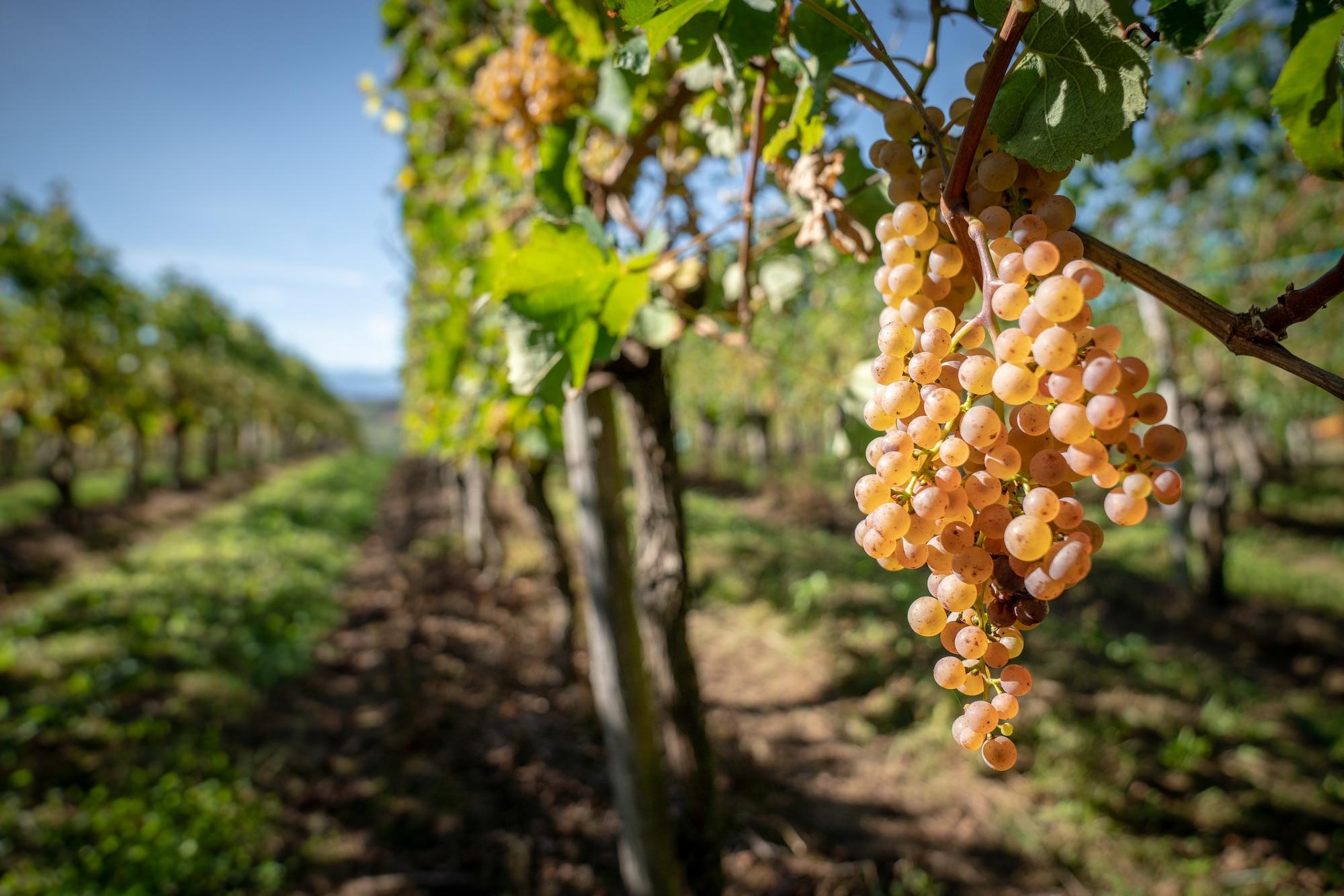weekend-amoureux-bearn-vignes-Jurançon grappes raisin 003 ©P.Carton