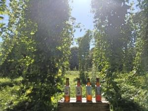 Les bières Keiset dans l'houblonnière
